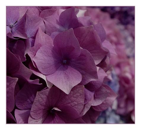 hortensias rosesstégarec