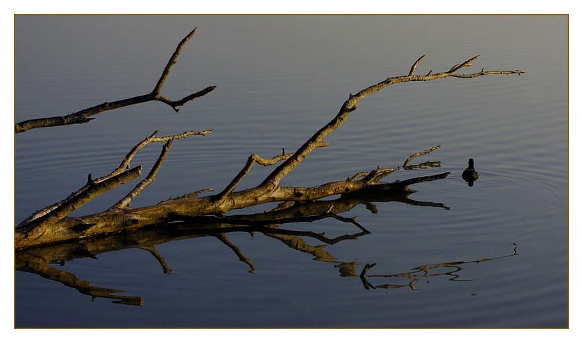 branche d'arbre morte et poule d'eau