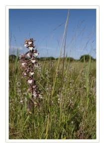 les orchidées au marais du curnic