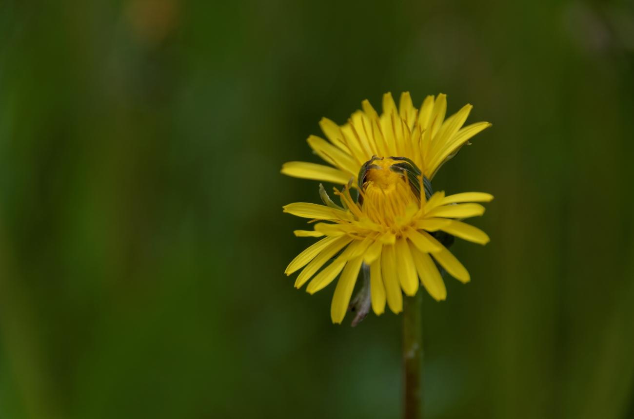 fleur de pissenlit, jaune, nature, faune et flore