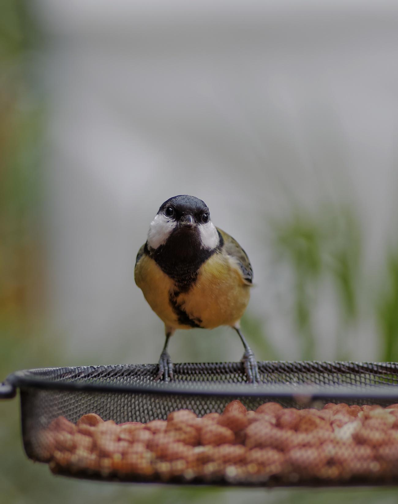 mésange charbonnière, test objectif smc PENTAX D-FA MACRO 100mm f/2,8WR, oiseau, jardin, oiseaux du jardin, photo