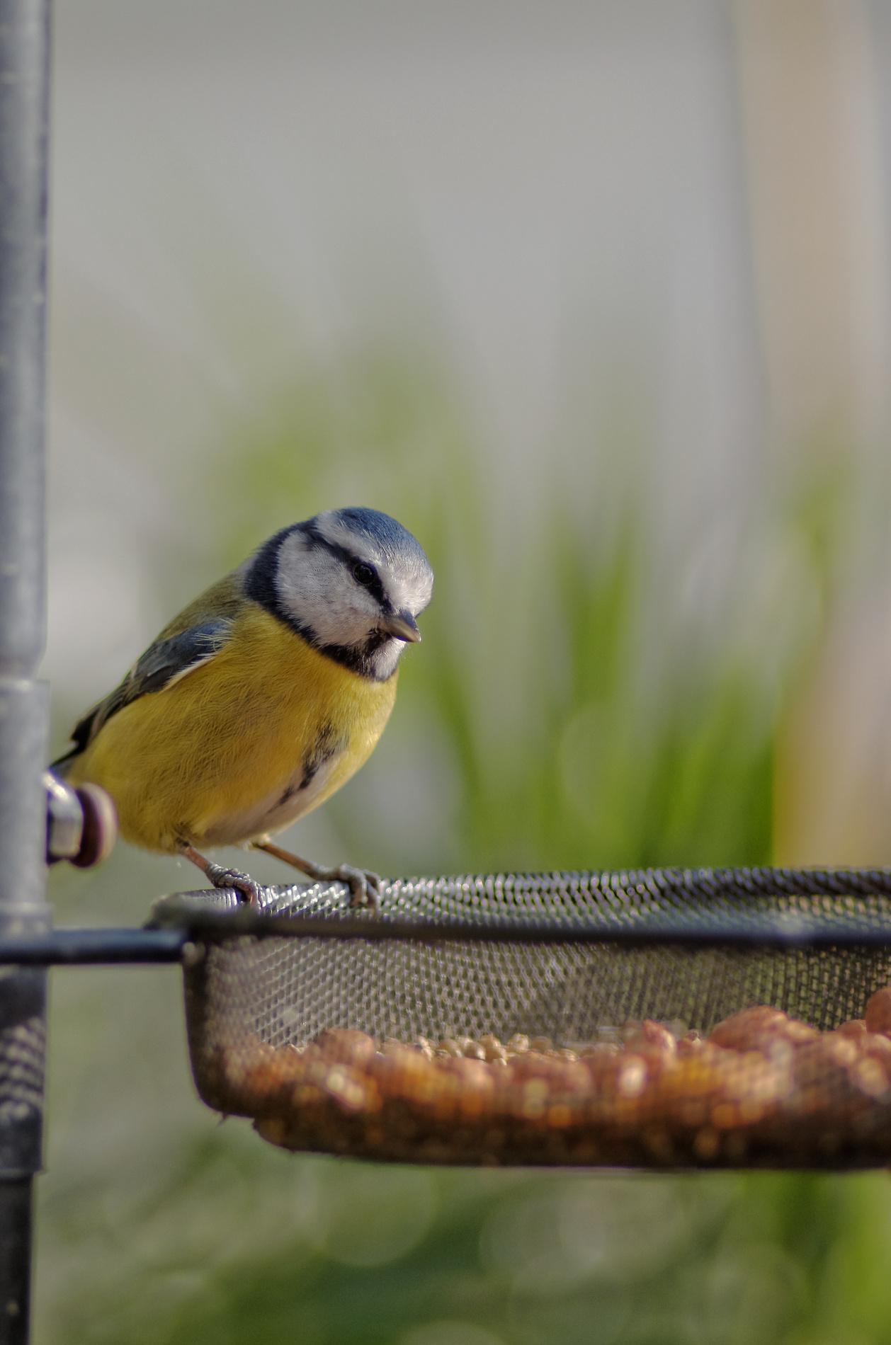 mésange bleue, oiseau, oiseau du jardin, photo,