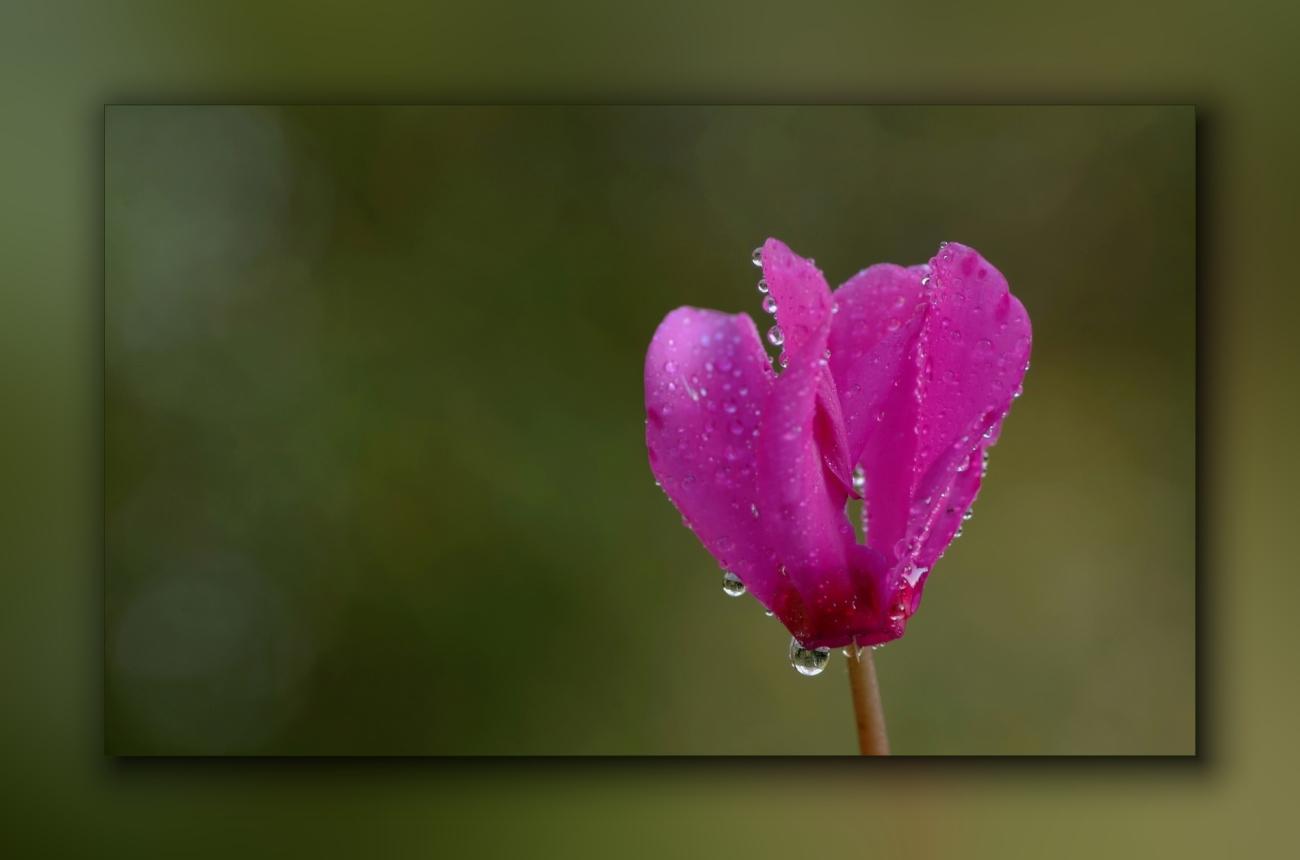 macro, gouttes, fleurs, photo, smc PENTAX D-FA MACRO 100mm f/2,8 WR