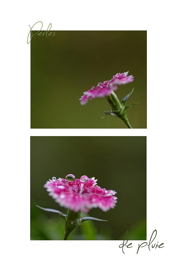 macro,goutes, pluie, fleurs,  smc PENTAX D-FA MACRO 100mm f/2,8 WR