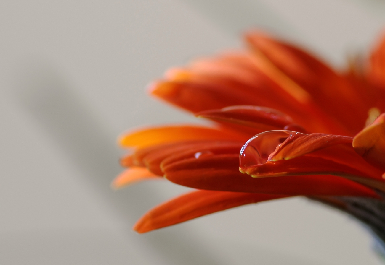macro, goutte, fleur, nature morte, smc PENTAX D-FA MACRO 100mm f/2.8 WR