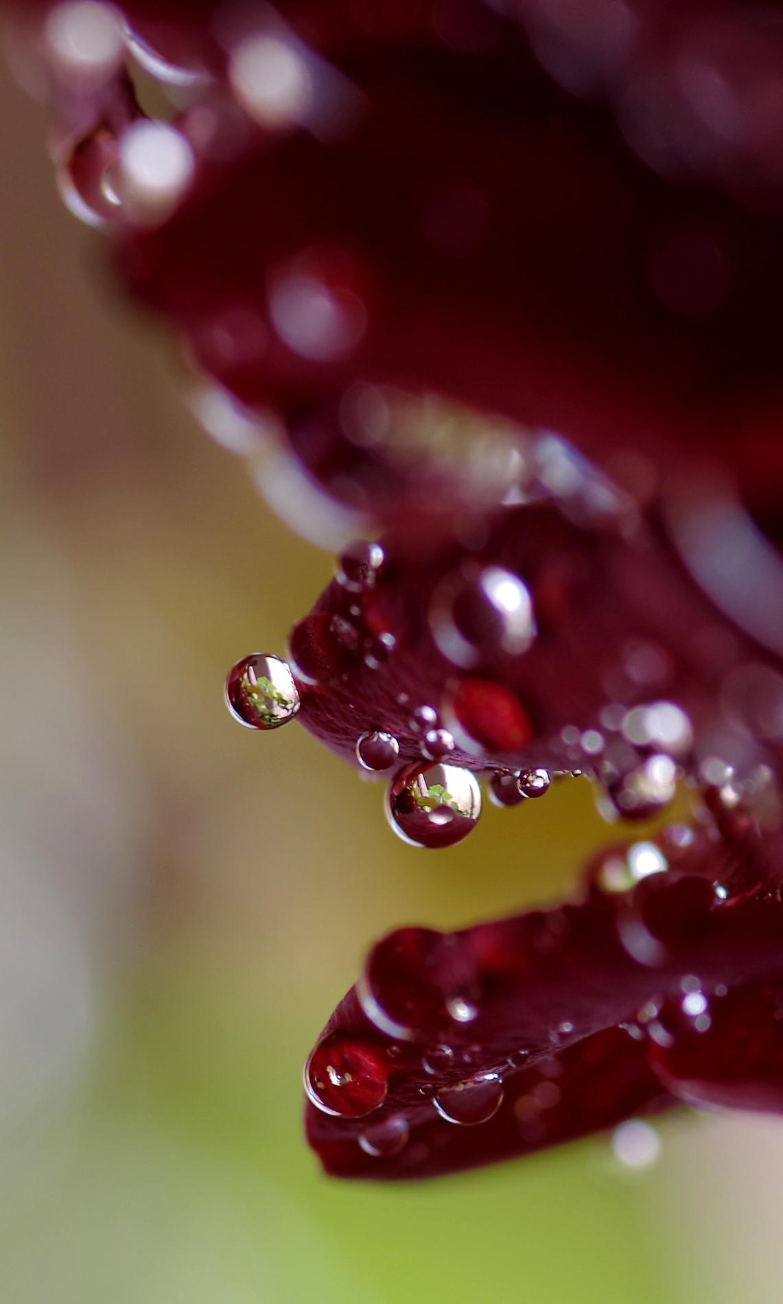 rosée sur rose, macro, goutte, fleur, nature morte, smc PENTAX D-FA MACRO 100mm f/2.8 WR