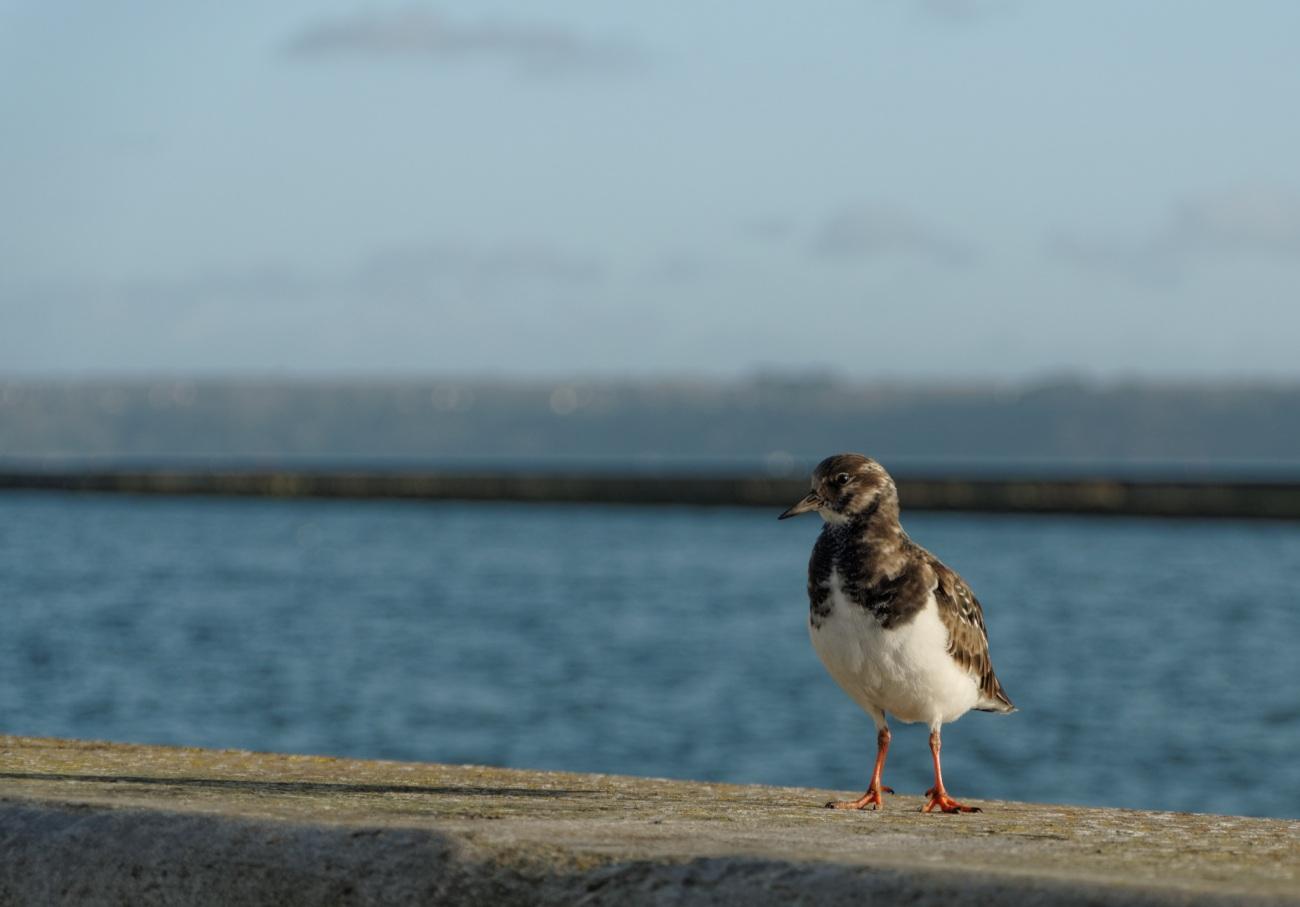 gravelot, oiseau bord de mer, Brest, Finistère, Bretagne, oiseau