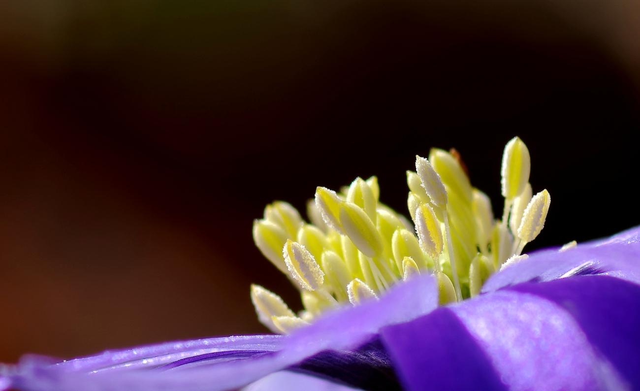 fleur, aster, macro, jardin, smc PENTAX D-FA MACRO 100mm f/2.8 WR, photo