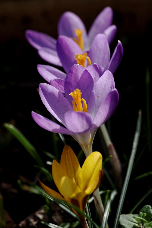smc PENTAX D-FA MACRO 100mm f/2.8 WR, crocus, plante bulbeuse, violet, jaune, fleur, photo,