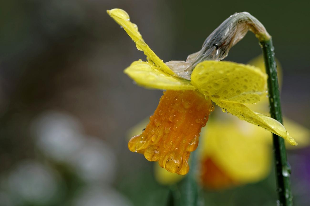 narcisse, narcisse sous la pluie, fleur,
