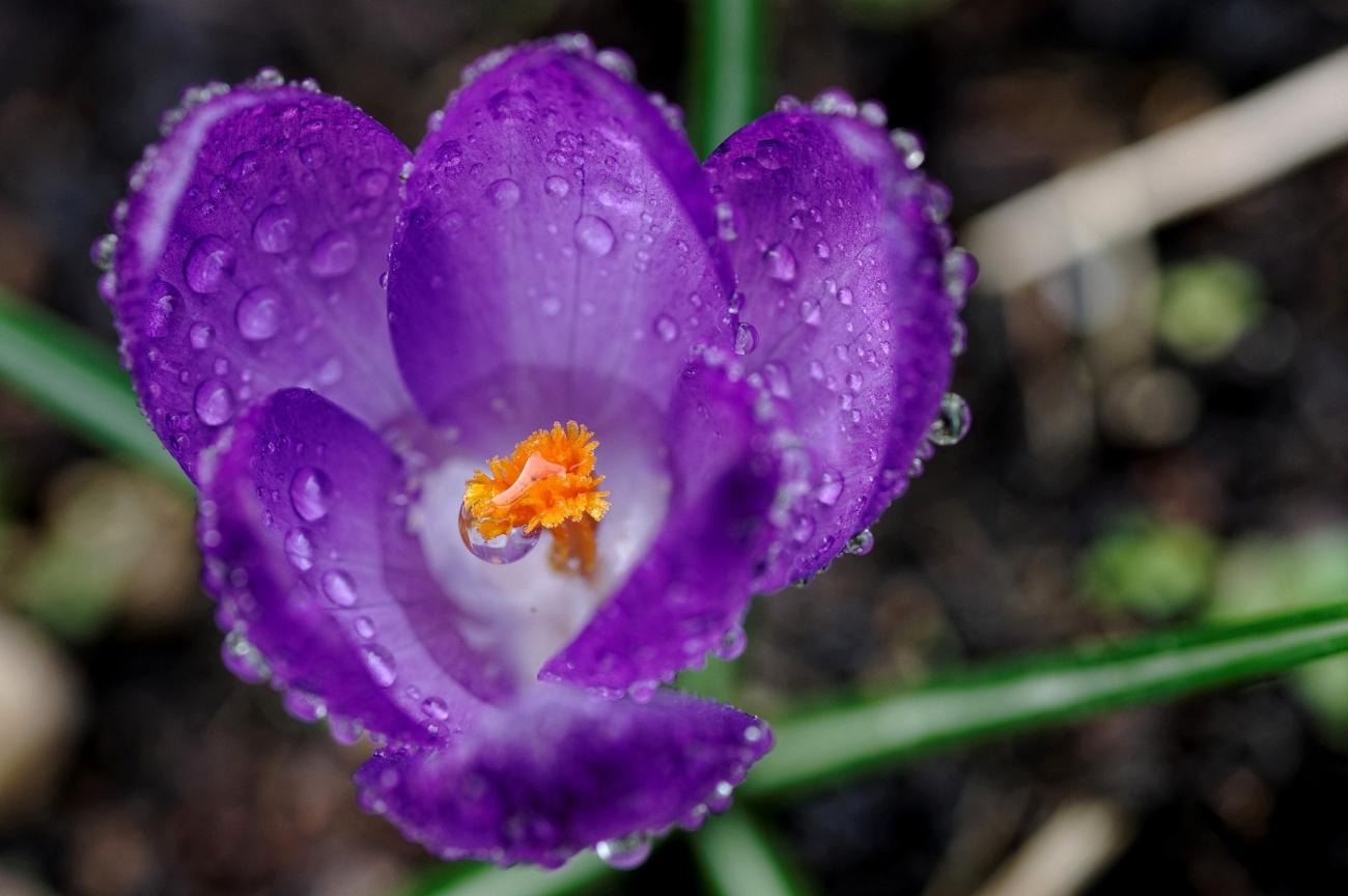 crocus sous la pluie, fleur, crocus, crocus violet,