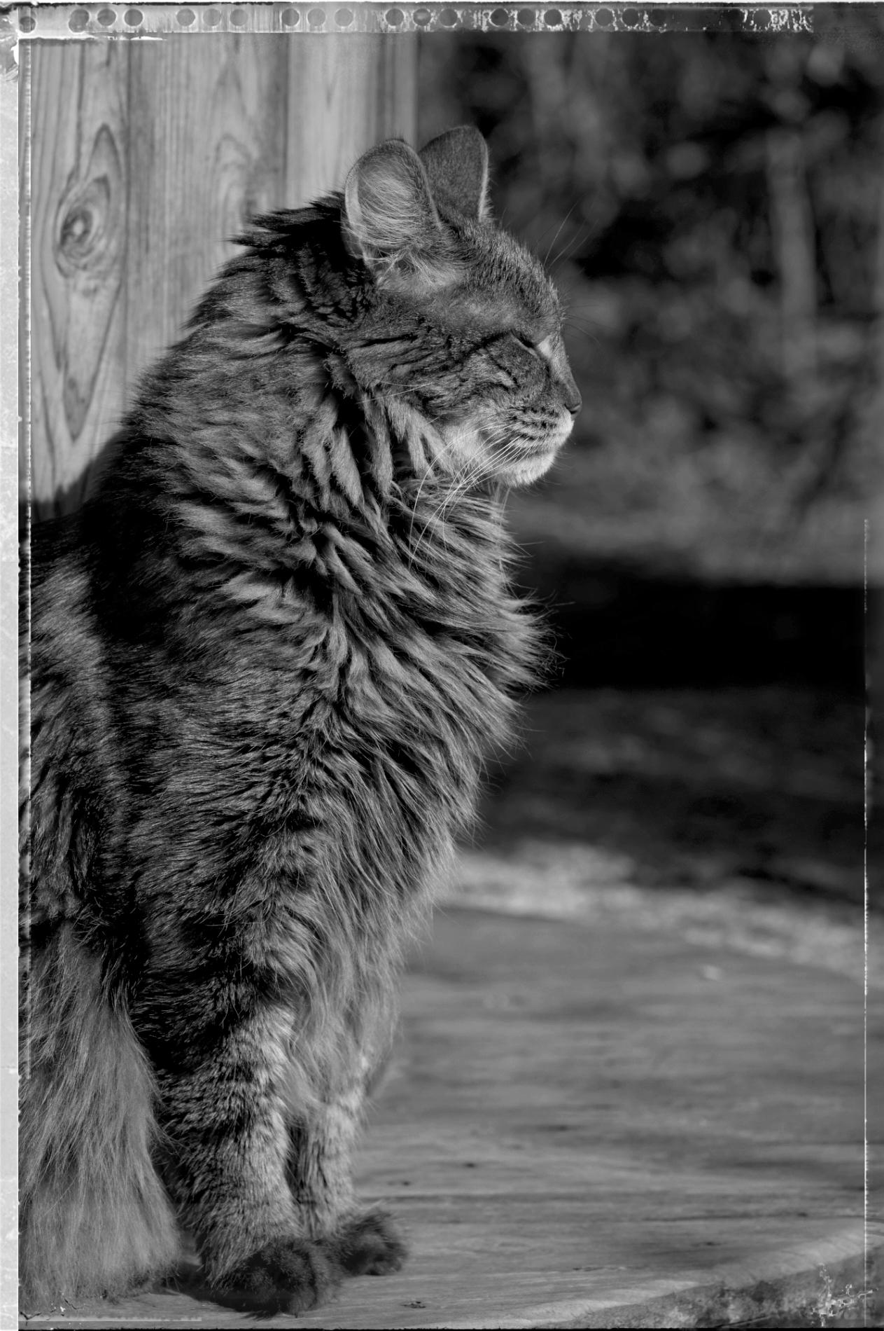 Anaximandre, chat, angora turc, noir et blanc