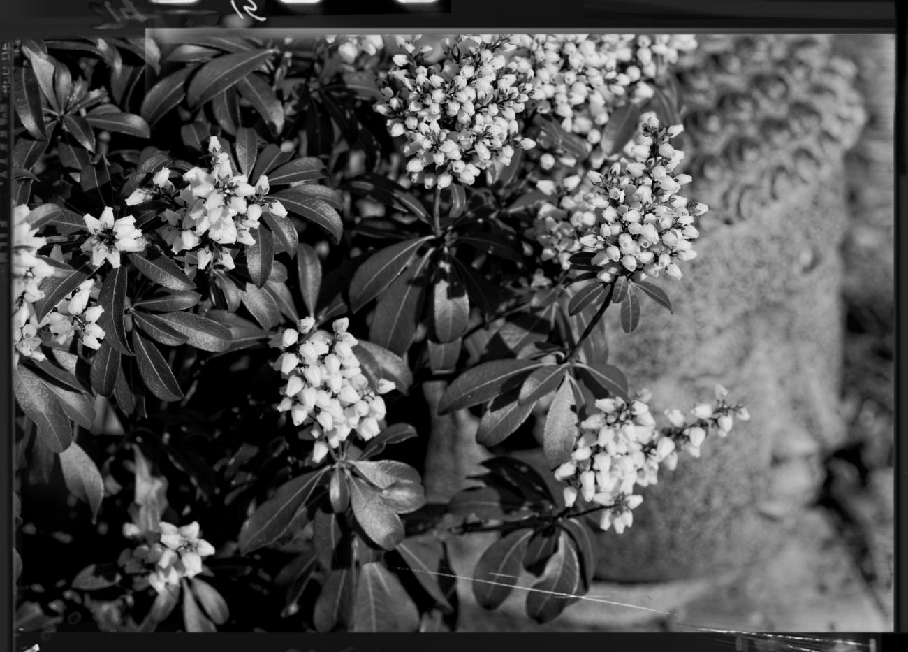 bouddha, fleur, Pieris Bonfire, noir et blanc, zen,