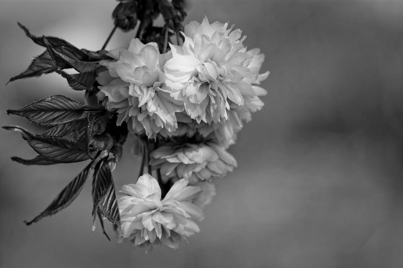 fleurs de cerisier du japon, fleurs, noir et blanc, photo