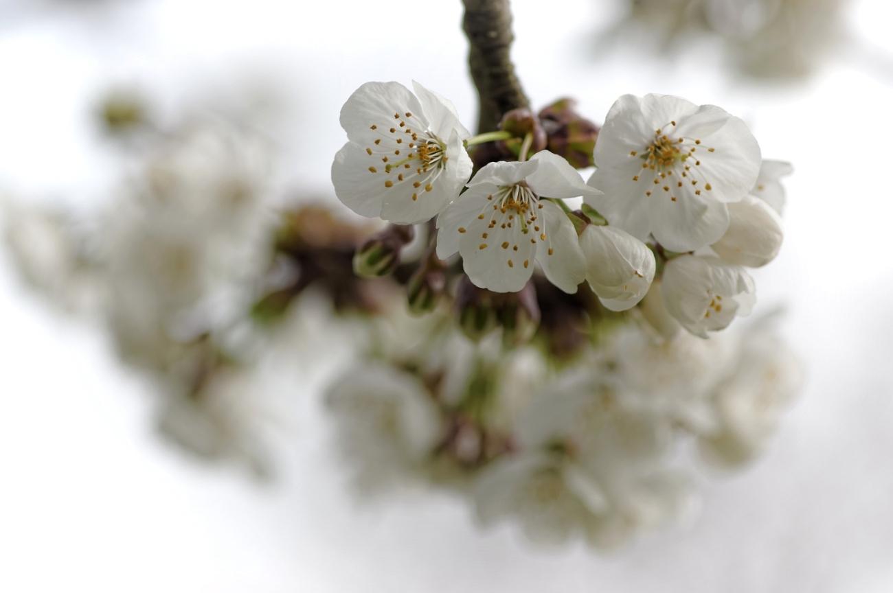 cerisier en fleurs, fleurs de cerisiers, faune et flore, smc PENTAX D-FA MACRO 100mm f/2.8 WR
