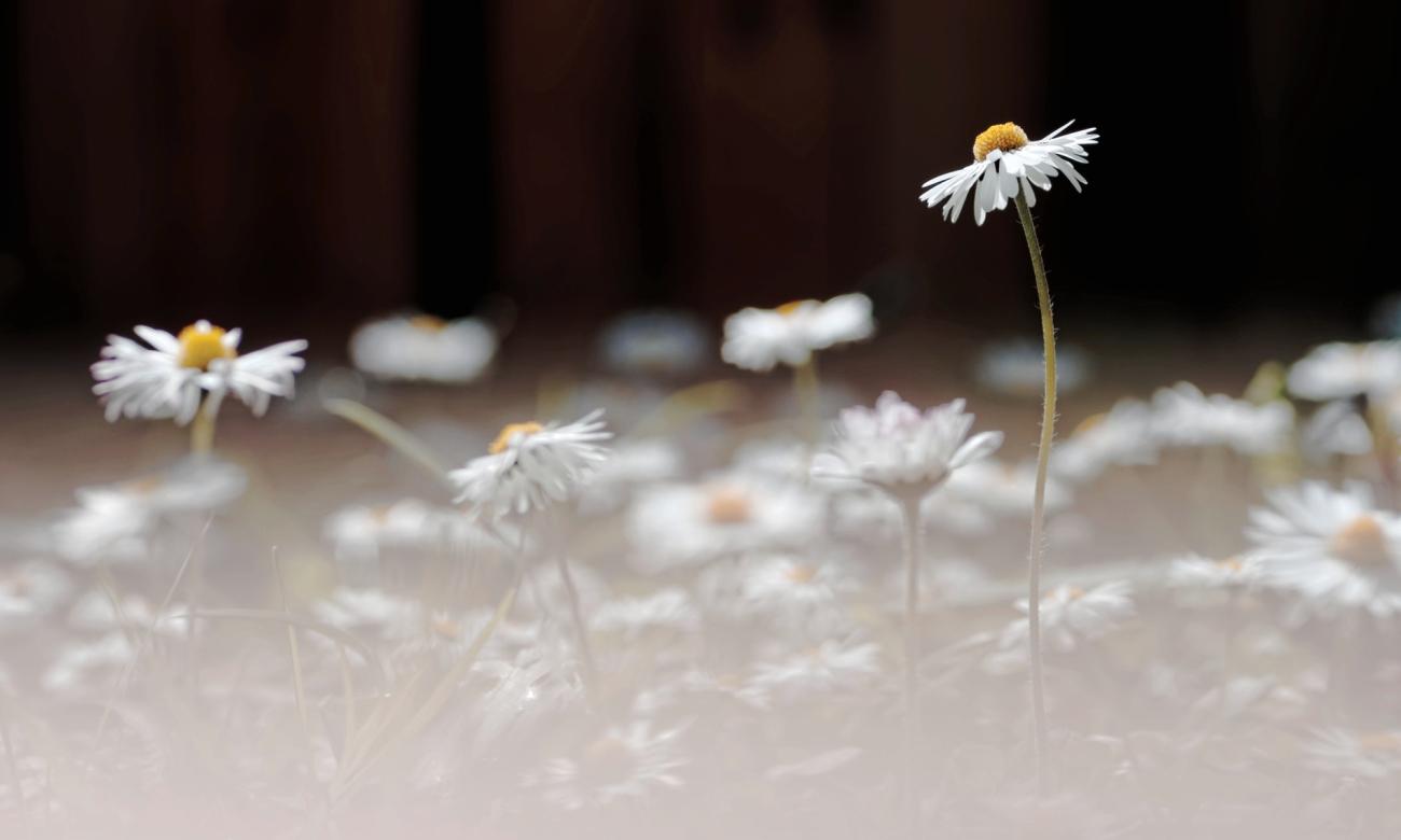 fleurs, pâquerettes, au jardin