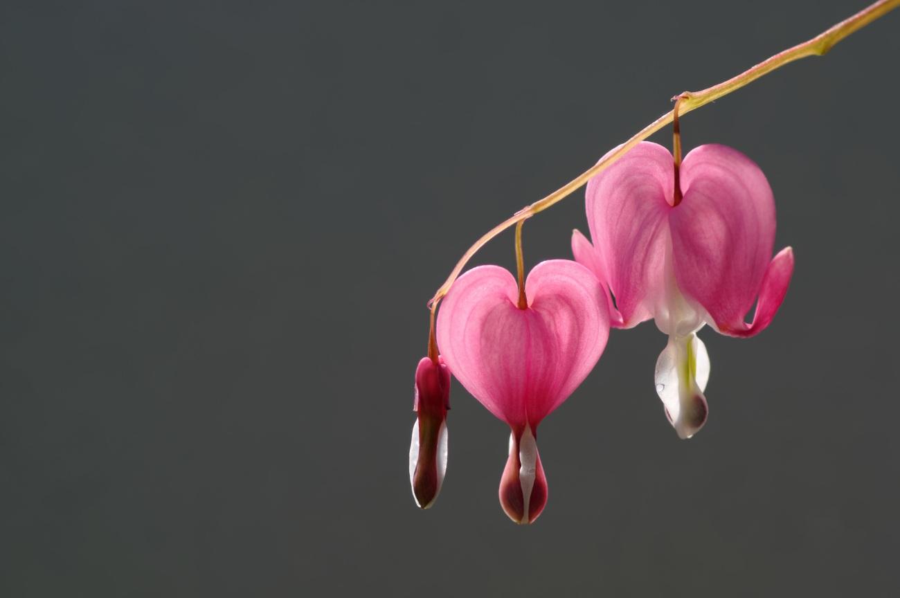 fleurs, coeurs de Marie,