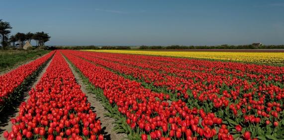 tulipe en bretagne