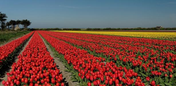 tulipes, La Torche, Plomeur, bretagne, finistère