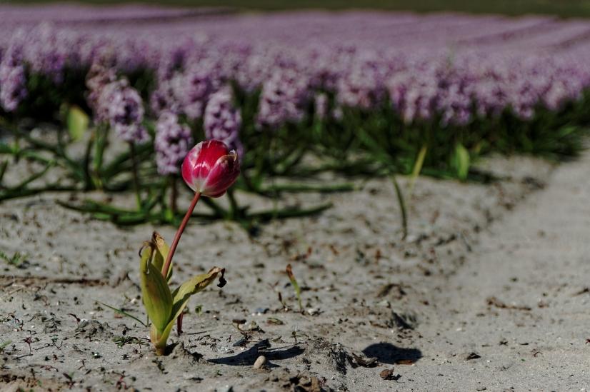 tulipes et jacinthes, La Torche, Plomeur, bretagne, finistère
