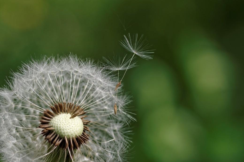 akène de pissenlit, akène, faune et flore, fleur