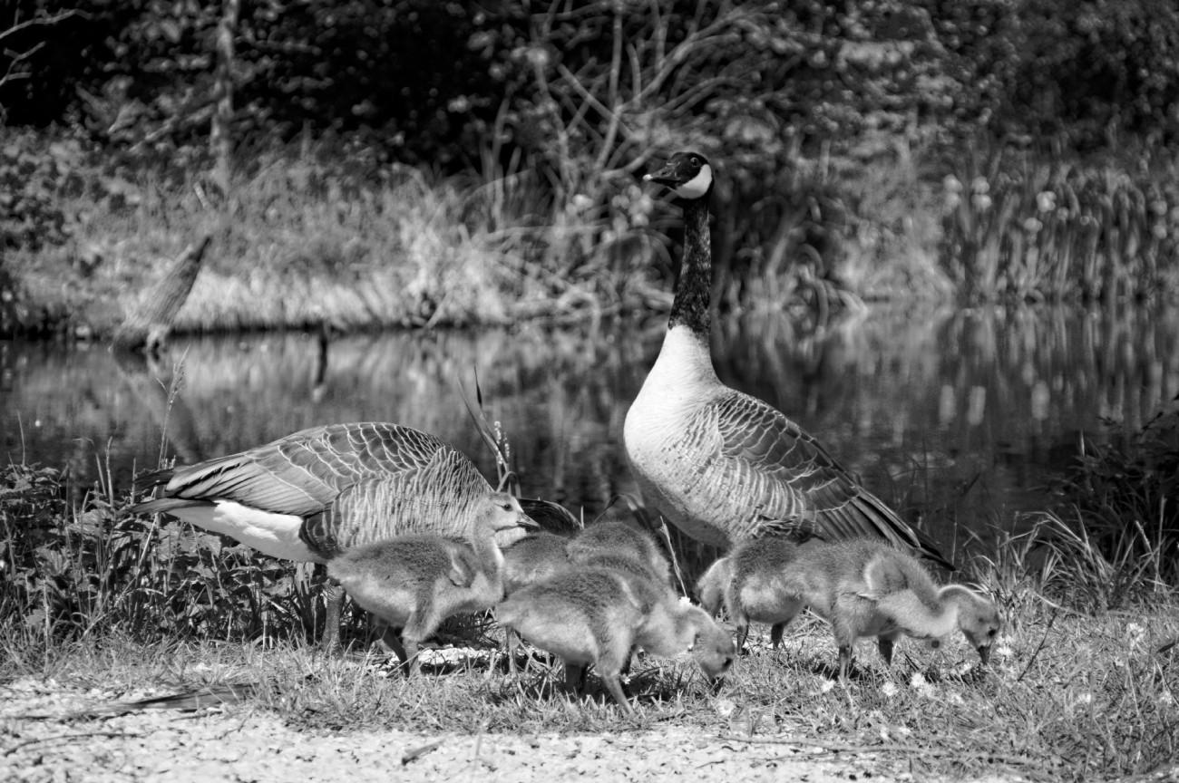 couple de Bernarches, bébés Bernaches, étangs de Baulne, fête des mères, noir et blanc