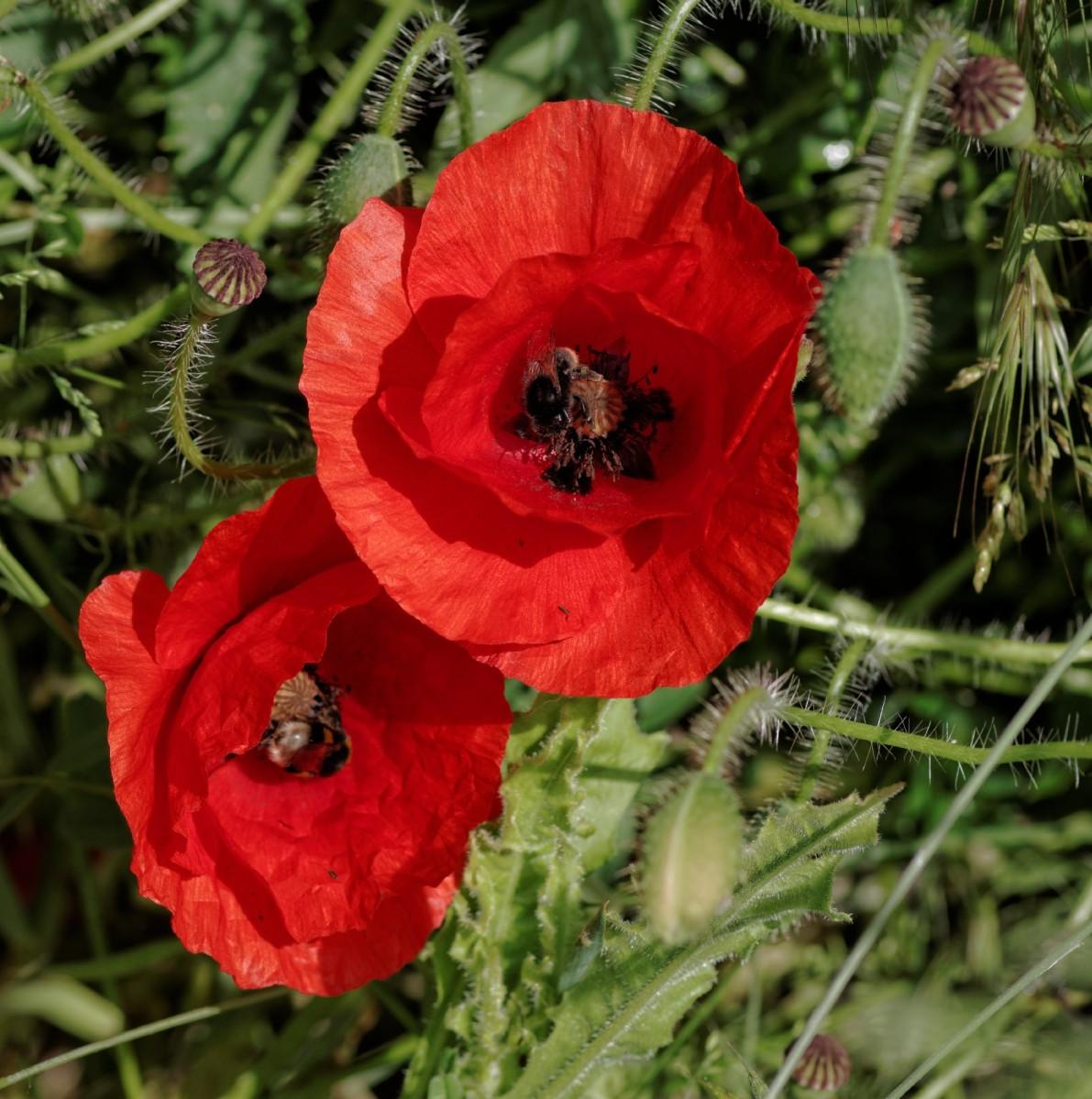 fleurs, coquelicots, faune et flore, rouge