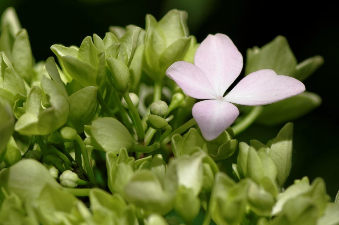 fleurs, hortensia