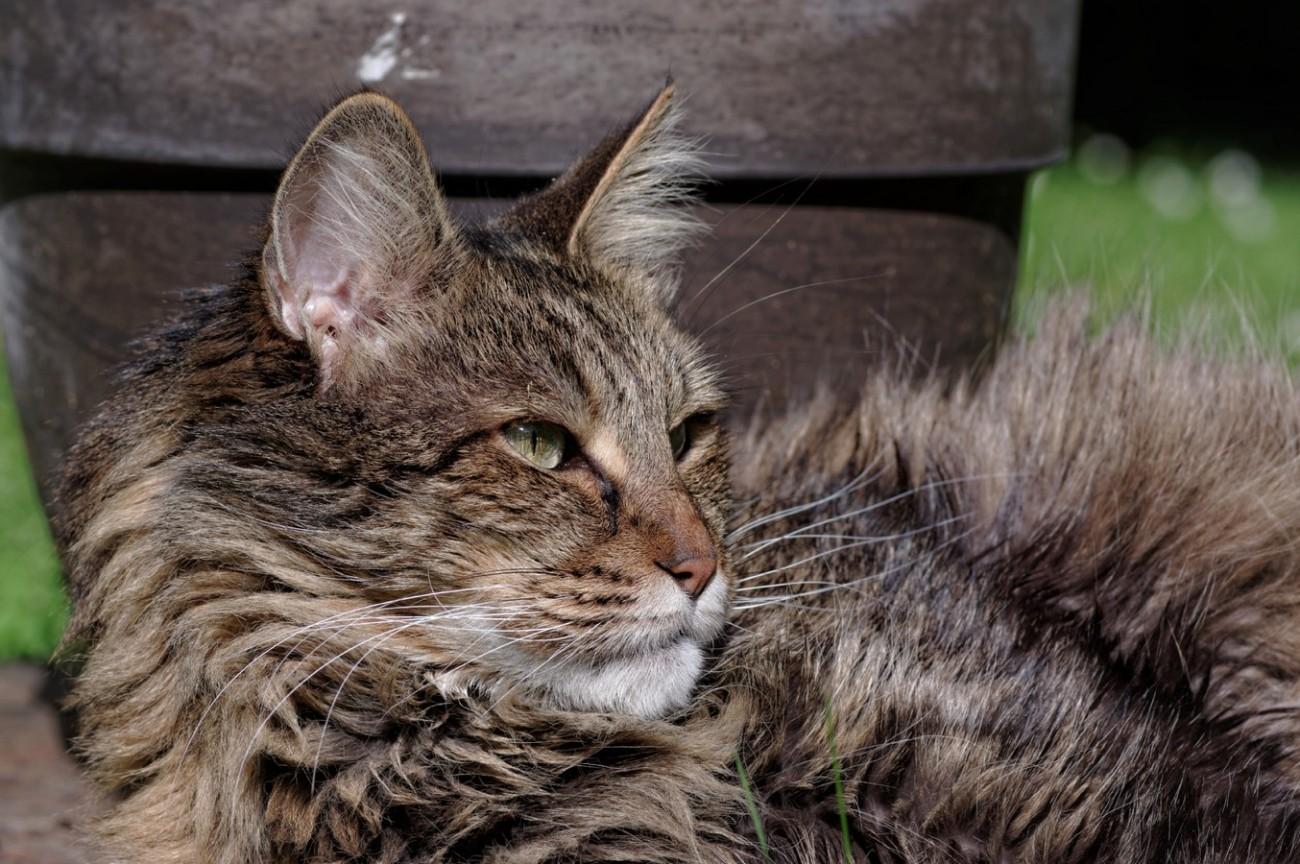 Anaximandre, chat, chat angora turc,