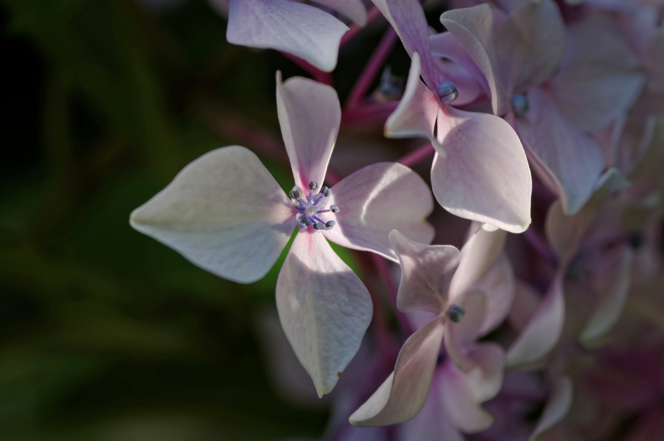 hortensia rose, hortensia, fleur, faune et flore, macro