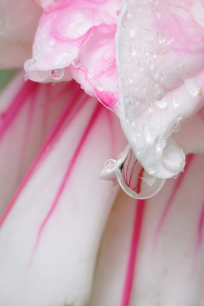 goutte de pluie, fushia, rose, fleur