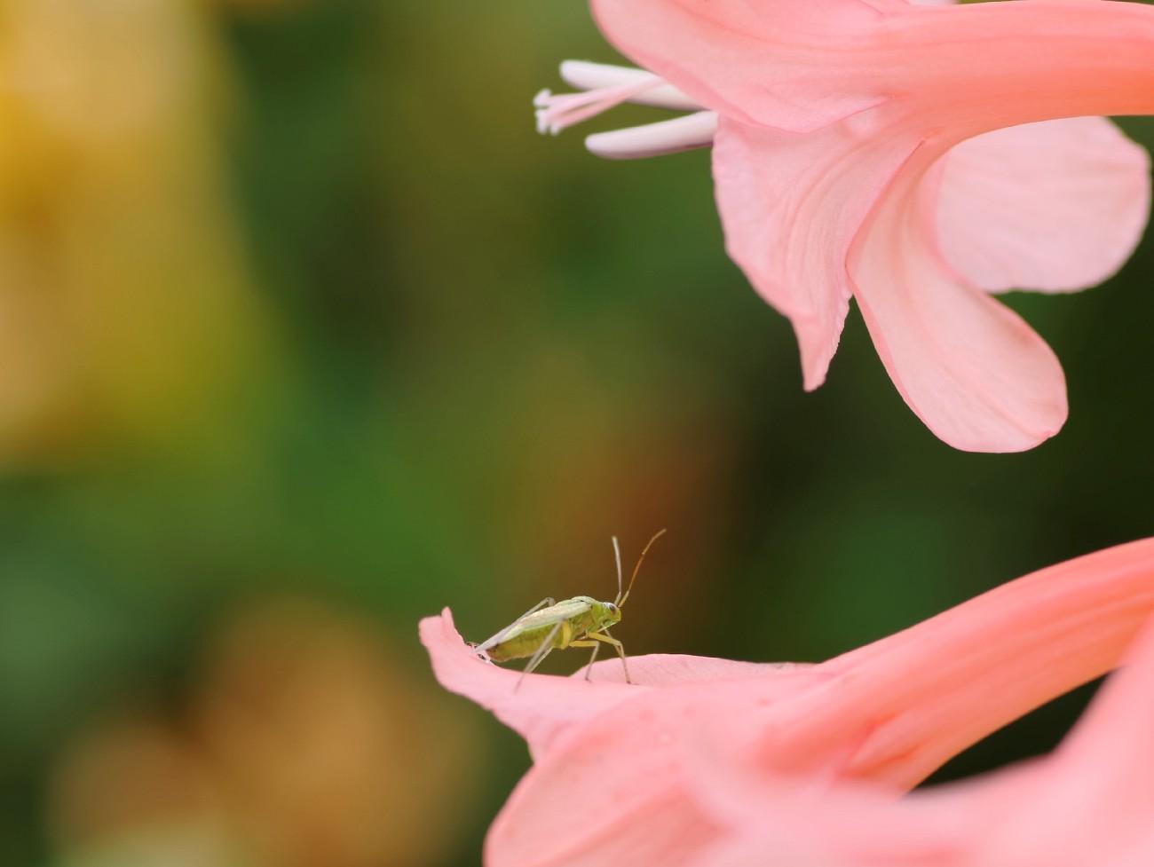 fleur rose jardin devant maison insecte 02