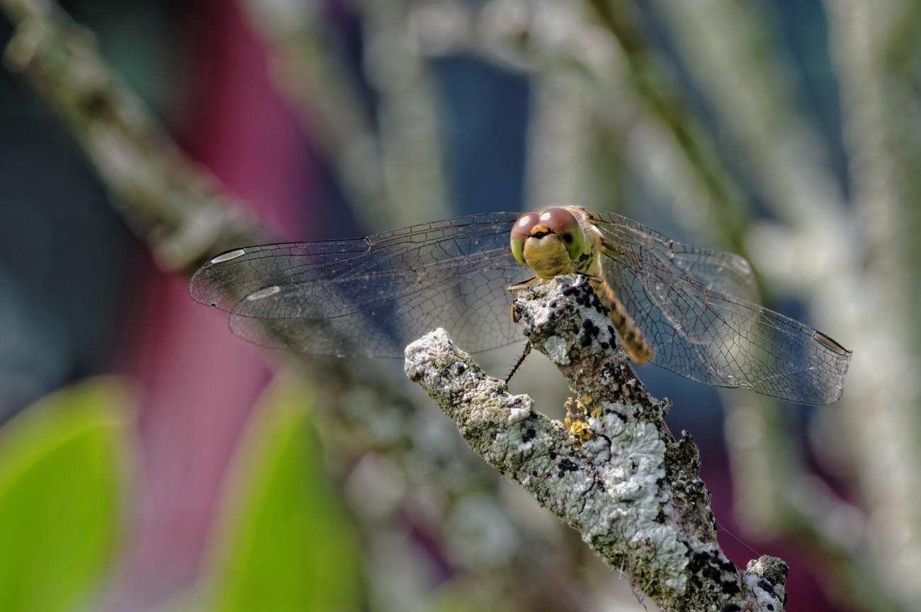Libellule (Sympetrum striolatum), faune et flore