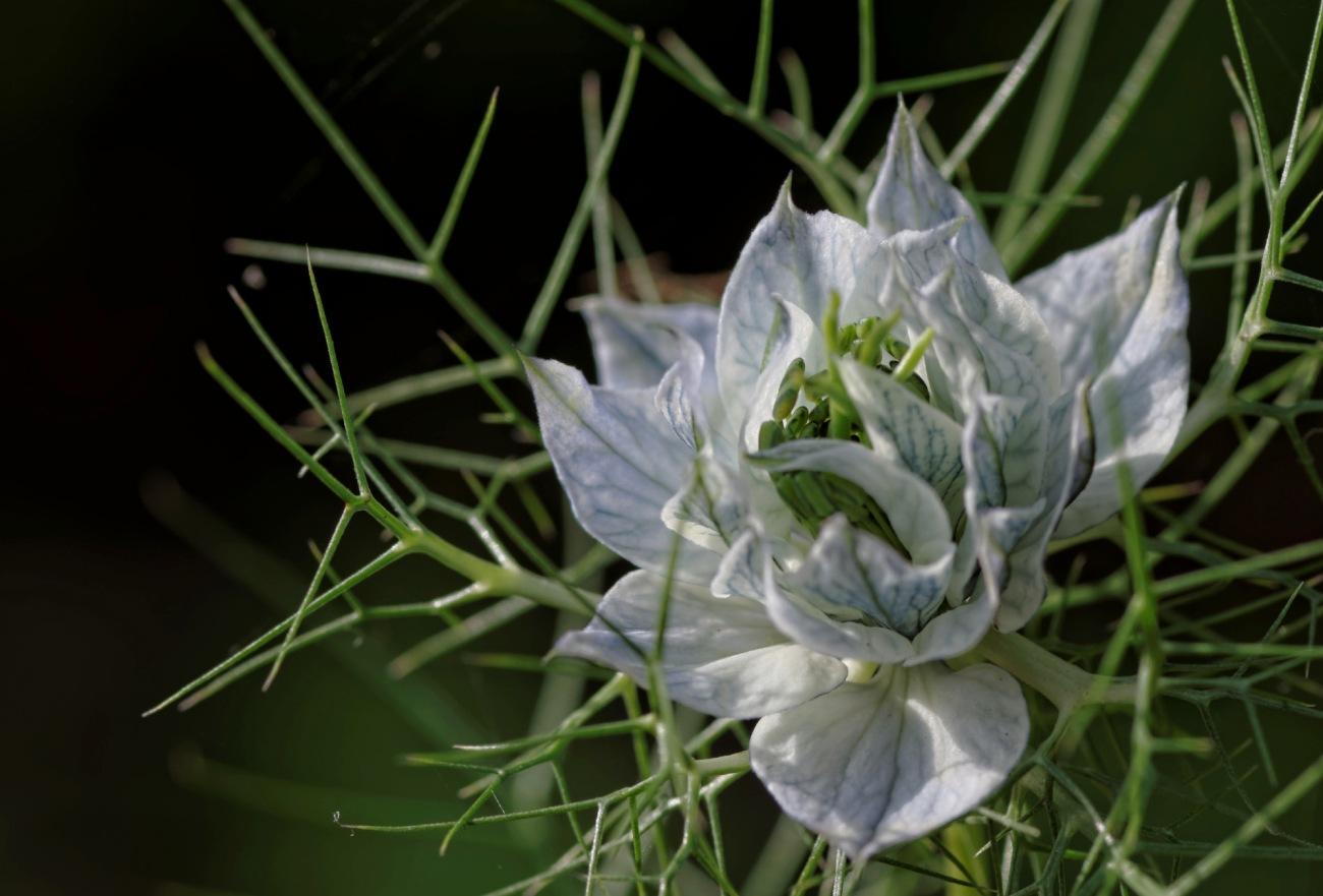 Nigelle de Damas, fleur, faune et flore,