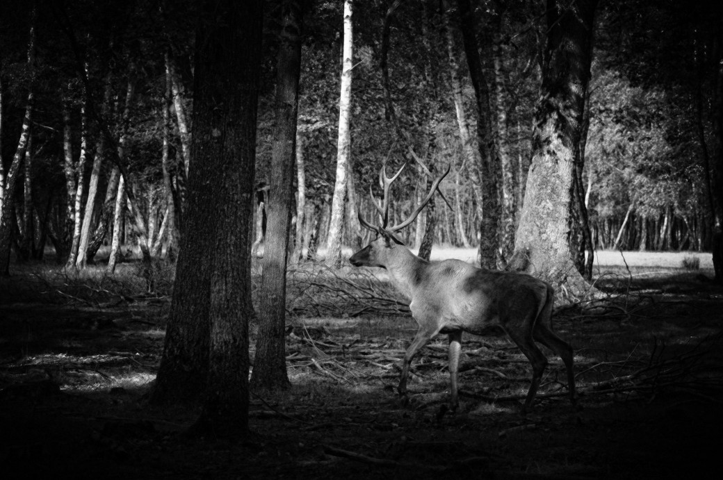 cerf,  Espace Rambouillet, noir et blanc,