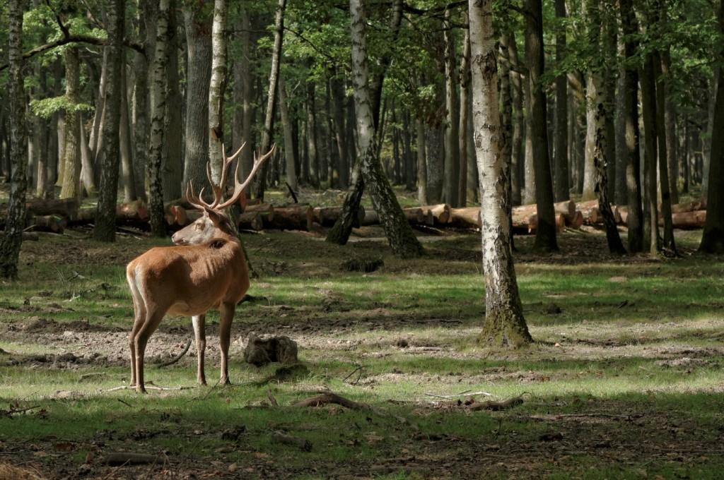 cerf, Rambouillet, nature, faune et flore