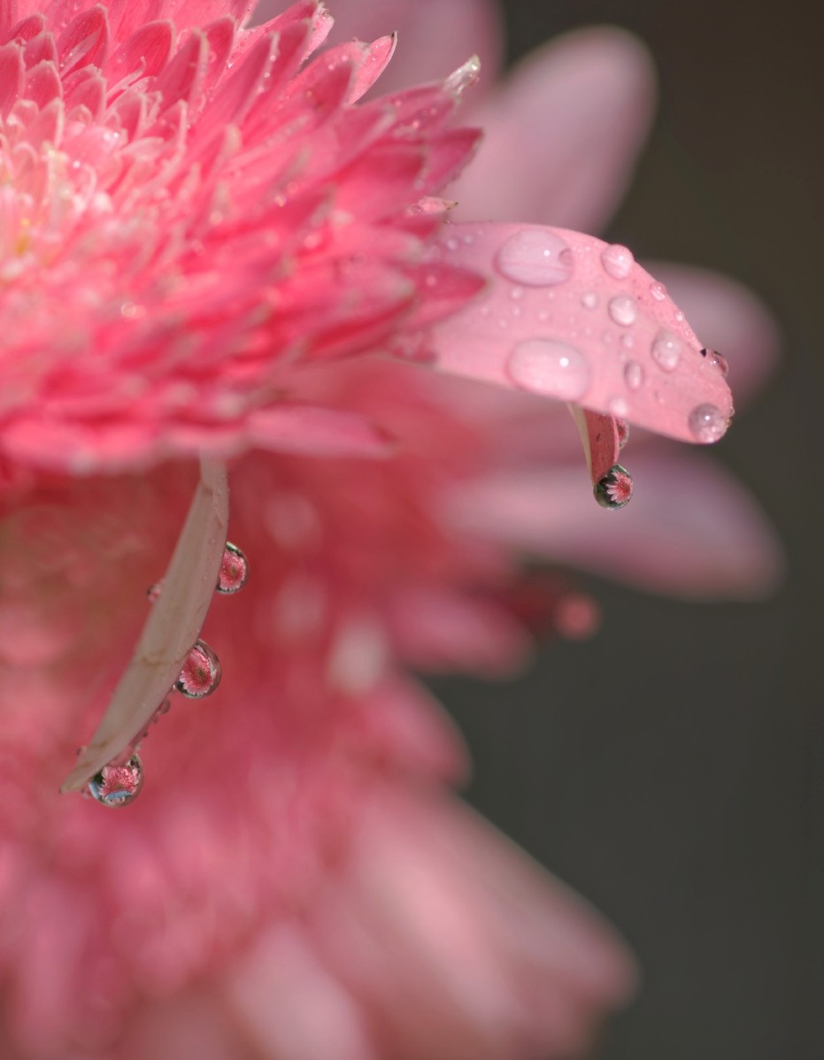 macro, goutte, reflet d'une fleur dans une goutte, rose,