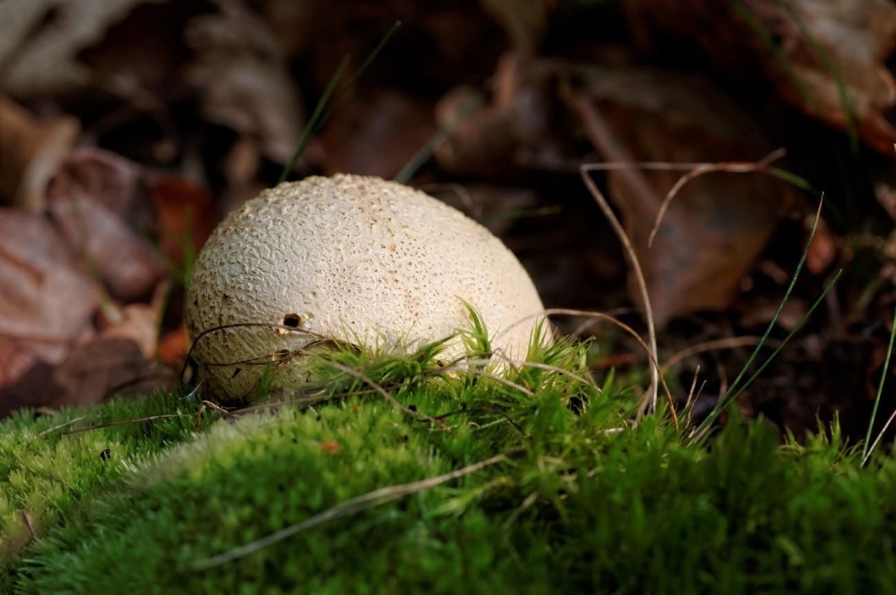champignon, bois, mousse, vesse de loup