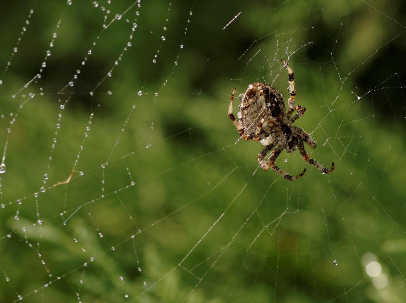 épeire diadème, Araneus diadematus, Araignée des jardins ou Araignée porte-croix, faune et flore, macro