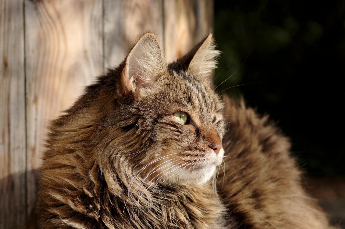 anaximandre, chat, chat angora turc