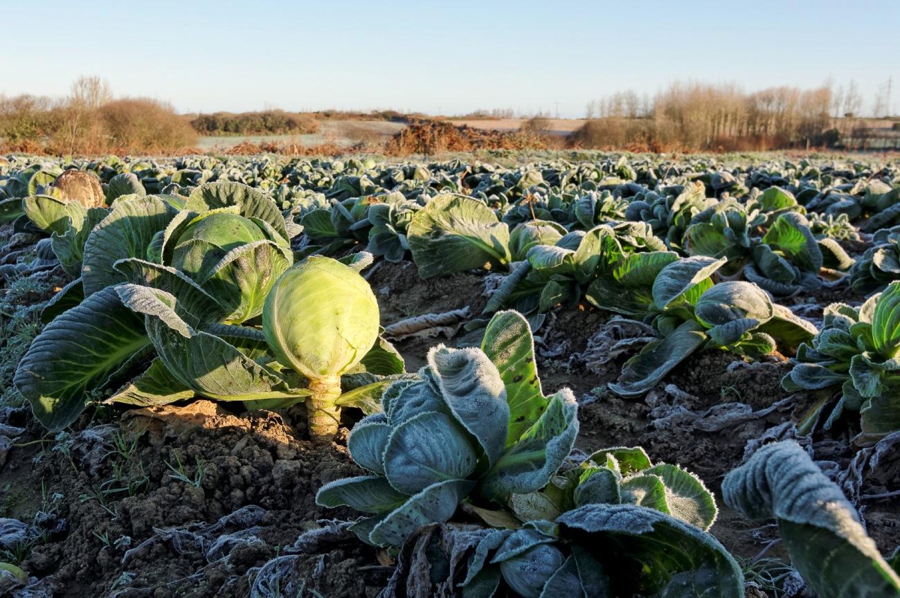 champs de choux, choux gelés, Guissény, bretagne, finistère, légumes