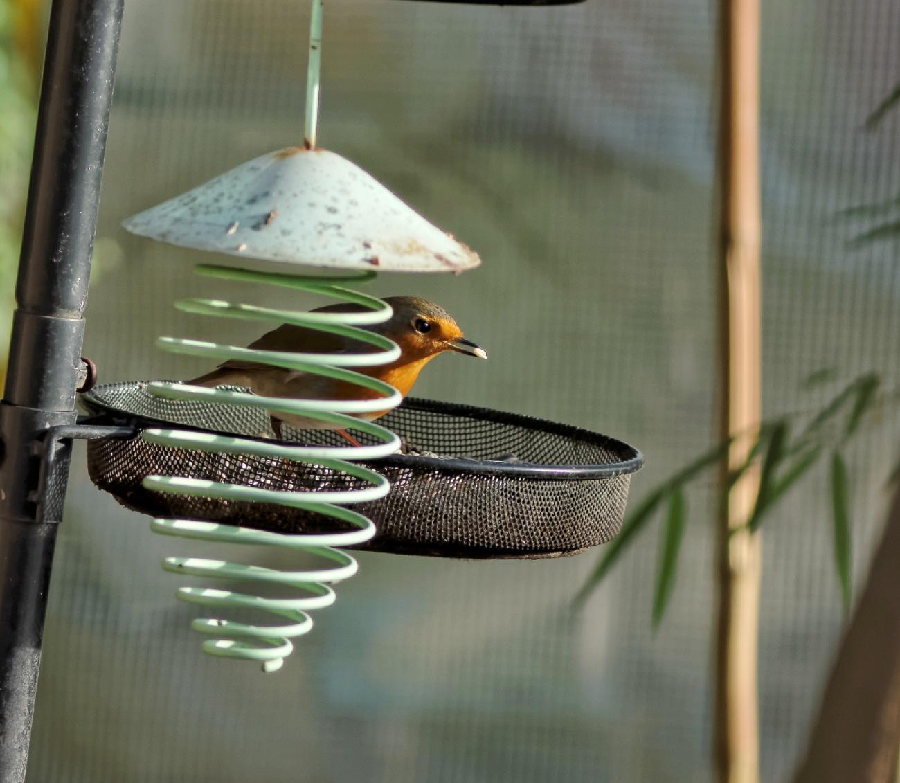 oiseau, rouge-gorge, faune et flore,