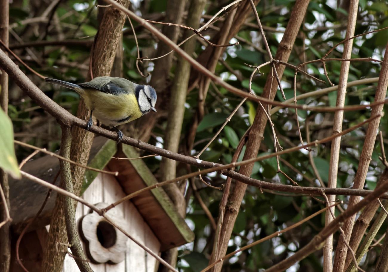 mésange bleue, faune et flore, oiseaux,