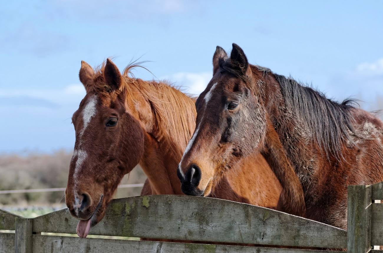 chevaux, Guissény, équitation, bretagne,