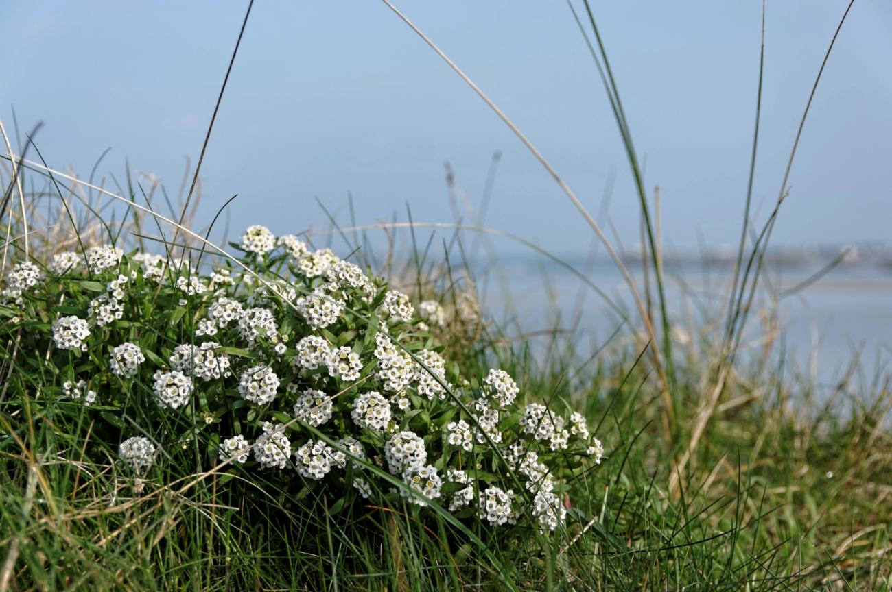 ça sent le printemps, fleurs le long du chemin de la digue au Curnic DxO-blog
