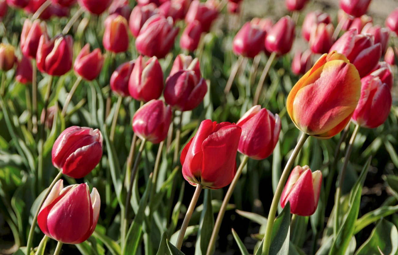 champs de tulipes à la Torche, Plomeur, finistère, bretagne