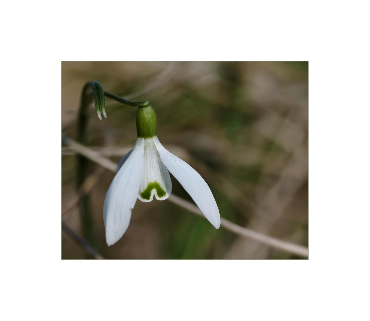 Perce-Neige, Galanthus nivalis, fleur, faune et flore,