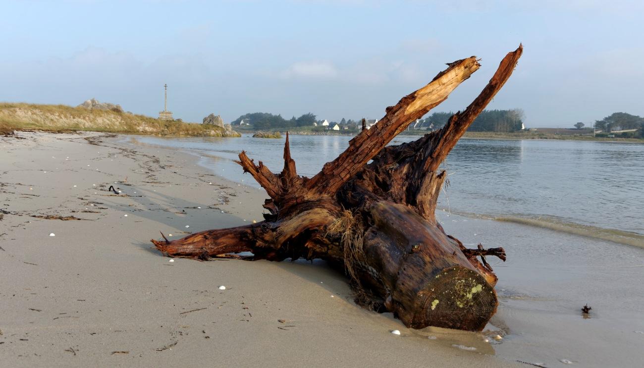 souche d'arbre échouée en baie de Guissény, baie de Guissény, bretagne, finistère