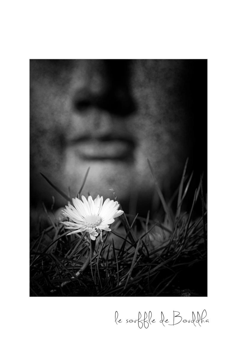 Bouddha, fleur, zénitude, pâquerette, noir et blanc