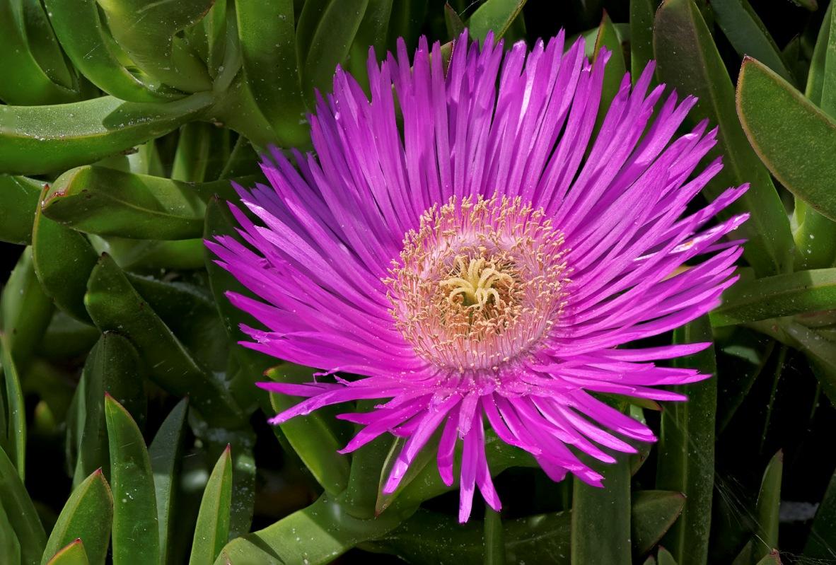 focus stacking fleur griffe de sorcière, Carpobrotus edulis,  griffe de sorcières, figues marines